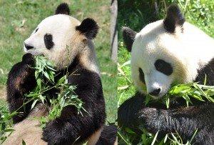 800px-Pandas_du_zoo_de_Beauval